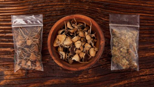 """Psilocybe Tampanensis is a unique strain amongst the Magic Truffles. The Psilocybe Tampanensis was first found in Tampa, Florida in 1977. Afterwards it was only found in the wild once in Mississippi. The Psilocybe Tampanensis is mainly known under the name """" Philosopher's Stones"""". The strength of Psilocybe Tampanensis is Medium."""