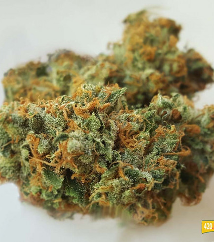 Do-Si-Dos: hard-hitting flavor explosion Do-Si-Dos became an instant favorite for many cannabis connoisseurs around the world when it first hit the market. The taste and flavor of Do-Si-Dos is fantastic and the THC-content is very high with 25-30%. Two characteristics that make this strain for a lot of people a true winner. Do-Si-Dos is a indica-dominant (70%) strain and a cross of the famous Girl Scout Cookies and Face Off OG. The aroma and flavor of Do-Si-Dos are quite different as Girl Scout Cookies though. It's kind of sweet and minty but with a very strong earthy and kushy touch to it. The effect of Do-Si-Dos is at first a fast-acting uplifting rush of euphoric energy that quickly fades into a happy introspection. A warming body buzz washes over you, while your mind enters meditative and contemplative states. You will feel super stoned and relaxed.